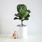 모던화분 떡갈고무나무 공기정화식물